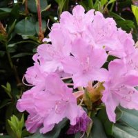 Rhododendron-messe 2008